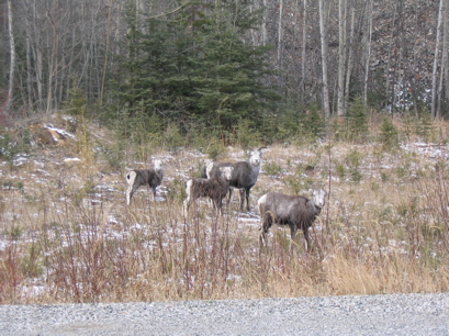 A small herd of Stone sheep