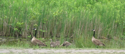 Geese family at the RBG